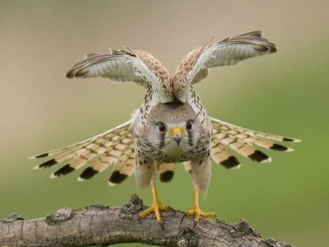 Sparrowhawk, raptor of the sky! | Interesting Photos | Scoop.it