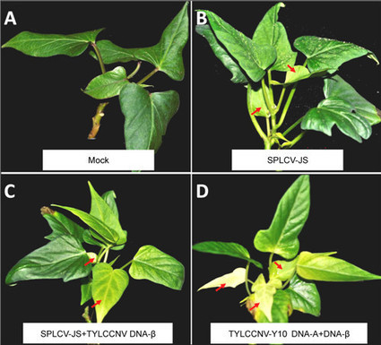 Agroinfection of sweet potato by vacuum infi ltration of an infectious sweepovirus | Viruses and Bioinformatics from Virology.uvic.ca | Scoop.it