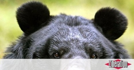 Alerte aux ours au Japon | expat-nippon | Scoop.it