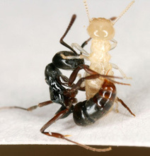 NC State News :: NC State News and Information » Researchers Find Asian Needle Ants Displacing Other Aggressive Invaders | Research from the NC Agricultural Research Service | Scoop.it