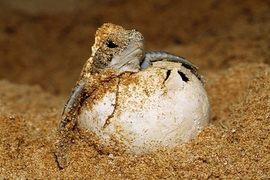 Sea Turtle Eggs Land Repeat Offender in Jail [Video] - Guardian Liberty Voice | Marine Conservation | Scoop.it