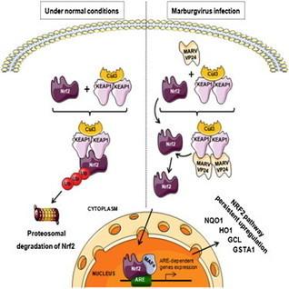 Cell Reports - Marburgvirus Hijacks Nrf2-Dependent Pathway by Targeting Nrf2-Negative Regulator Keap1 | Virology and Bioinformatics from Virology.ca | Scoop.it