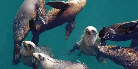 Saving California's seals and sea lions | Oceans and Wildlife | Scoop.it
