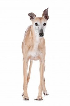 Burgess Pet Care » Blog Archive » Your Greyhound may be More Fascinating Than You Thought: The Breed's Interesting History | Dogs | Scoop.it
