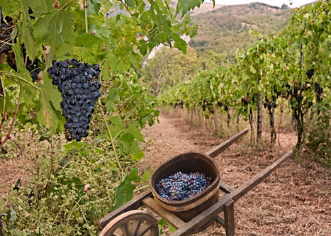La Vendemmia   italy and my region: a culinary and art journey into my country's treasures   Scoop.it