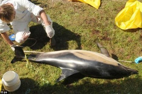 Navy sonar 'did cause mass dolphin deaths' say scientists who blame war games exercise off Cornish coast for strandings | Sustain Our Earth | Scoop.it