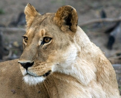 Philanthropists Pledge $80 Million for Wild Cat Conservation ...   My Funny Africa.. is this the lions last roar?   Scoop.it
