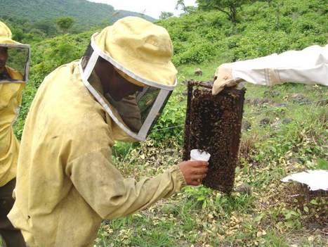 Descenso de abejas amenaza la polinización de cultivos | Miel Melipona | Scoop.it