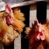 China's 2014 bird flu death toll rises to nearly 100 | Avian influenza virus A(H7N9) | Scoop.it