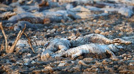 EN IMAGES. Paraguay : les caïmans décimés par la sécheresse | Education environnement | Scoop.it