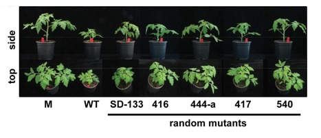 Molecular Plant Pathology (2016): Rhamnose synthase activity is required for pathogenicity of the vascular wilt fungus Verticillium dahliae | WU_Phyto-Publications | Scoop.it