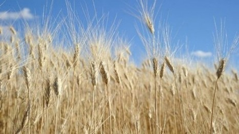 Japan blocks US wheat after Monsanto GMO strain found growing wild - Raw Story   Plant Based Transitions   Scoop.it