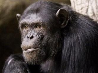 Aseguran que la moral humana tiene su origen en los simios - El Diario 24 | Evolucion | Scoop.it