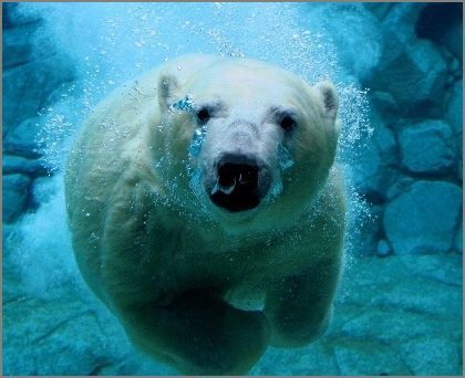 Polar Bears should die as a result of our greed? | Nature Animals humankind | Scoop.it