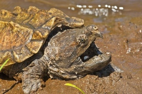 Two New Snapping Turtle Species Named | animals on our planet | Scoop.it