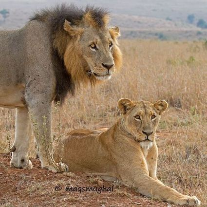 Mr & Mrs Simba posing for visitors at Nairobi National Park,… | Funny Bus::Best Funny Pictures-2 | Kenya | Scoop.it
