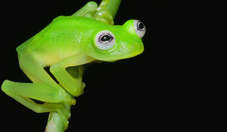 Newly discovered frog species looks a lot like Kermit the Frog | Natural Fears | Scoop.it