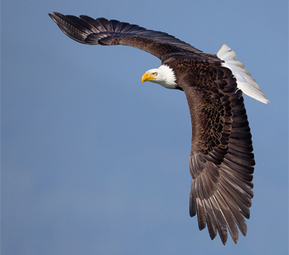 Petition to sign: Bald and Golden Eagles at Risk - Audubon Society | Our Evolving Earth | Scoop.it
