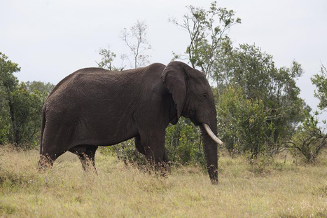 Kenya: Reserve tests drones to fight poachers | Wildlife Trafficking: Who Does it? Allows it? | Scoop.it