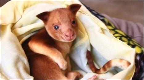 L'essentiel Online - Un kangourou survit dans la poche d un wallaby - Insolites | Merveilles - Marvels | Scoop.it