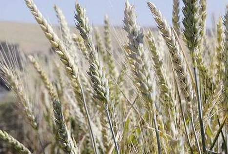 Researcher aims at developing 'celiac-safe' wheat | WHEAT | Scoop.it