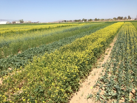 Science could make canola oil more nutritious, and broccoli more tasty | Phys.org | CALS in the News | Scoop.it