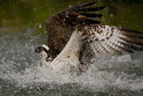 Ospreys in Action, Finland, by Peter Cairns | Finland | Scoop.it