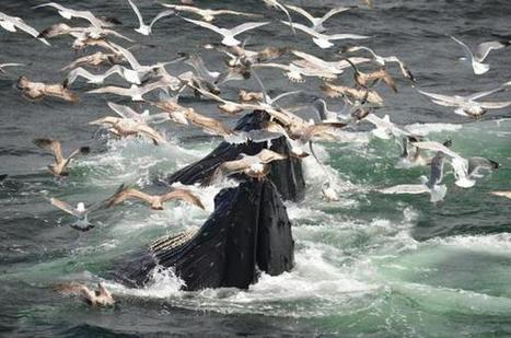 Off tip of the #Cape, an abundance of #humpbackWhales . Gr8 footage & images* | Rescue our Ocean's & it's species from Man's Pollution! | Scoop.it
