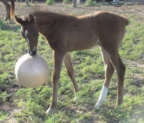 Bodywork Basics For Your Foal:  Prevention For 3 Common Musculoskeletal Issues | Horse Health | Scoop.it