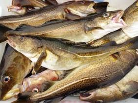 Northern Cod stocks slowly increasing | Aquaculture Directory | Aquaculture Directory | Scoop.it