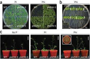 Nature Biotech: Engineering phosphorus metabolism in plants to produce a dual fertilization and weed control system | Phosphite mediated suppression of Microdochium nivale | Scoop.it