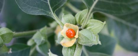 Ashwagandha, racine de vitalité - Ayurveda Revolution | Cette nature qui nous soigne | Scoop.it