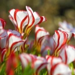 Oxalis versicolor (Fleurs spectaculaires) Bulbes - Alsagarden, Graines & Plantes Rares | Jardinerie Alsagarden | Scoop.it