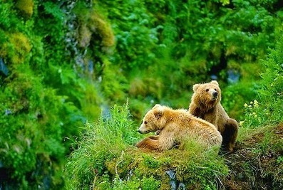 Avail Brown Bear Photography Tours In Kodiak Alaska | Afognaklodge | Scoop.it