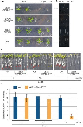 HSP90 Stabilizes Auxin-Responsive Phenotypes by Masking a Mutation in the Auxin Receptor TIR1 | Plant Biochemistry | Scoop.it