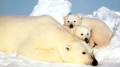 Climate change could alter polar bear behaviour: expert | CTV News | Climate change challenges | Scoop.it