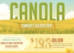 Canola: Canada's Golden Crop | Commodities, Resource and Freedom | Scoop.it