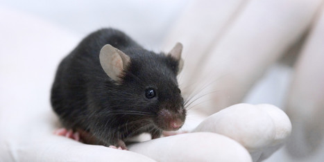Misleading Mouse Research Blamed In Failures Of Experimental Drugs - Huffington Post | AV Canal Repair Surgery in Bangalore, India | Scoop.it