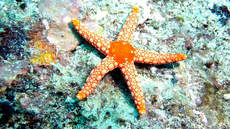 Starfish Tearing Themselves Apart | The New Normal | Scoop.it