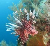 Lionfish hunting in Belize | Overseas placements | Latest news | Travel | Scoop.it