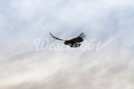 Peru, Colca Canyon, Condor (Lat. Vultur Gryphus) im Flug. by Westend61 / Kristian Peetz | All things about Photography | Scoop.it