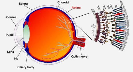 Eye Blood Vessels Linked to Cognitive Function, IQ | Psychology | Sci-News.com | Psychology | Scoop.it