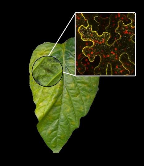 The Xanthomonas campestris Type III Effector XopJ Proteolytically Degrades Proteasome Subunit RPT6 | Plant-microbe interaction | Scoop
