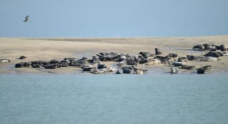 Le Calaisis, halte privilégié des phoques de la Manche  | Zones humides - Ramsar - Océans | Scoop.it