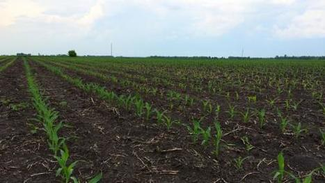 Improve nitrogen management on corn: How much, when and where | Corn Yield | Scoop.it