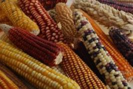 New genomic resources for maize breeding | MAIZE | Scoop.it