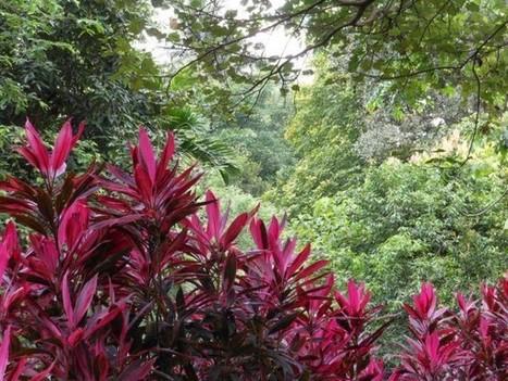 Dracena vermelha (Cordyline terminalis) - FazFácil | paisajismo | Scoop.it