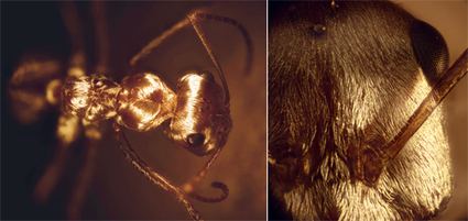 Using Saharan Silver Ants as an Inspiration for Surface Cooling Coatings | Biomimicry | Scoop.it