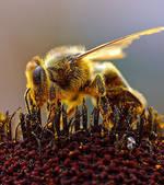 OGM : les apiculteurs s'inquiètent de la position de l'UE | Abeilles, intoxications et informations | Scoop.it