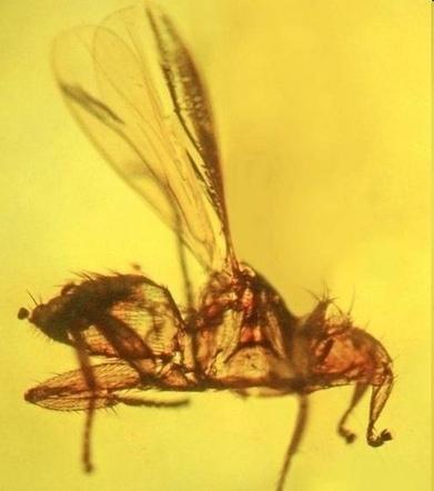 Le seul fossile connu d'une mouche parasite des chauves-souris   EntomoNews   Scoop.it